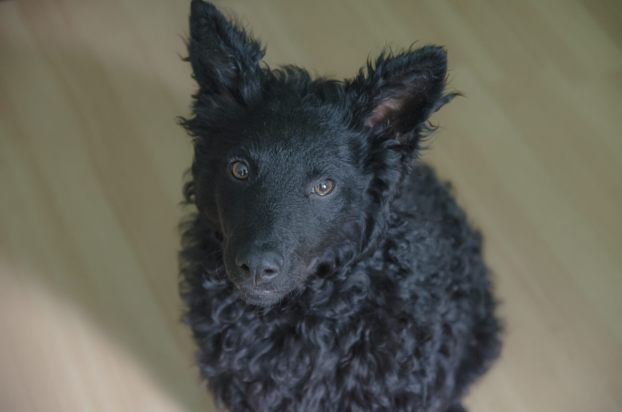 A black dog with pointy ears and a fur that would make some sheep jealous.